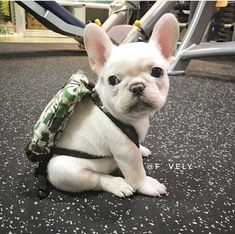 The major breeds of bulldogs are English bulldog, American bulldog, and French bulldog. The bulldog has a broad shoulder which matches with the head. Cute French Bulldog, French Bulldog Puppies, Cute Dogs And Puppies, Doggies, Teacup French Bulldogs, Frenchie Puppies, White French Bulldogs, Cute Funny Animals, Cute Baby Animals