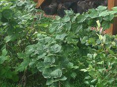 Organic Raspberry Bushes - Beautiful Lake Home for Sale on Lake James in Morganton NC