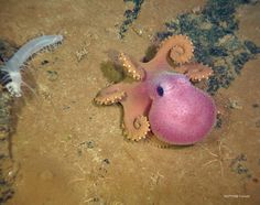 """realmonstrosities: """"An adorable octopus hanging out with his curly-wurly tentacles …Image: NEPTUNE Canada """" Underwater Animals, Underwater Creatures, Ocean Creatures, Underwater Life, Crab Spider, Cute Octopus, Tiny Octopus, Barbie, Sea Dweller"""