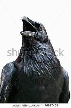 raven drawing - Google zoeken