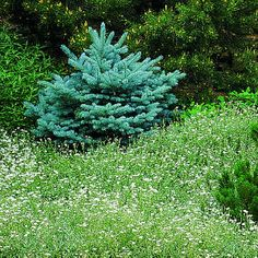 Top 50 water-wise plants | Snow-in-Summer | Sunset.com