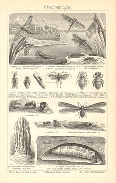 1904 Winged Insects Mayfly Stonefly Thrips by CabinetOfTreasures