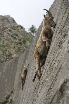 Alpine Ibexes in Italy's Gran Paradiso National Park climb on the dam in order to lick the salt and minerals off the bricks.