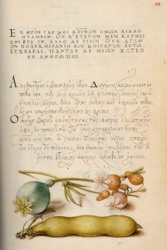Opium Poppy, Bladder Campion, and Broad Bean. One page of Mira calligraphiae monumenta (The Model Book of Calligraphy). A collaboration across many decades between Georg Bocskay (the scribe) and Joris Hoefnagel (the painter) in the century. Illustration Botanique, Botanical Illustration, Herbs Illustration, Wall Art Prints, Fine Art Prints, Getty Museum, Writing Styles, Illuminated Manuscript, Antique Prints