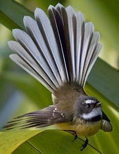 Exotic birds : New Zealand fantail (Rhipidura fuliginosa). Fantails are small . Different Birds, Kinds Of Birds, All Birds, Little Birds, Love Birds, Pretty Birds, Beautiful Birds, Animals Beautiful, Cute Animals