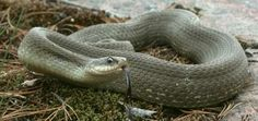 Eastern Hog-nosed Snake, Heterodon platirhinos. Photo: Joe Crowley.