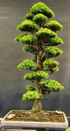Gran Bonsai