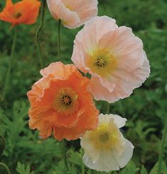 An Introduction to Poppies | Growing with Plants