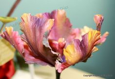 Parrot Tulip (love the color scheme! I think it takes it to a whole new level, almost fantasy, and would look even more amazing in sporadic bunches around the cake! WANT TO ADAPT THIS STYLE)