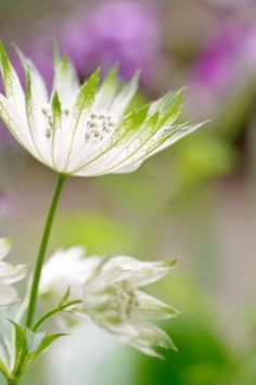 "hungariansoul:  "" takaclip:  "" Astrantia (by aniatot)  "" """
