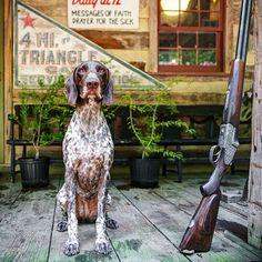 Курцхаар (фото) - верный компаньон и отличный охотник: описание, характер, уход