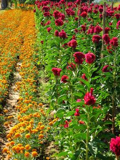 Fields of marigolds and celosia, the two most important flowers used in El Dia celebrations.
