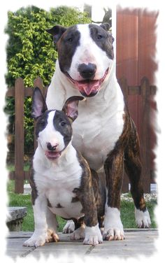 Bully family))) #English #Bull #Terrier #Dog #Dogs #Terriers #Puppy #Cute #Sweet #Funny #Animal