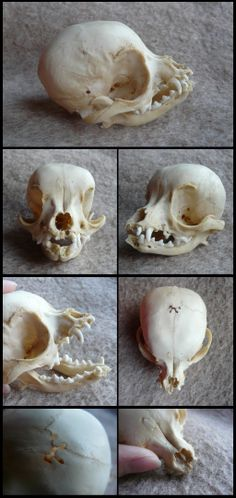 Chihuahua Skull by CabinetCuriosities on deviantART