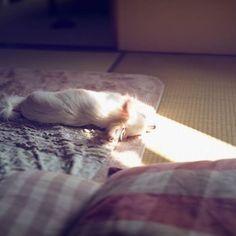 . 穏やかな日常のひとこま 🌸💤 #日射し #お昼寝 #ひなた #ひなたぼっこ #ただ #日々 #寝るだけ #love #yuki #instagood #instadog #dog #ilovemydog #chihuahua #chiwawa #luvdog #house #home #ちわわ #チワワ #ロンチー #ロングコートチワワ #愛犬との暮らし #今日のわんこ #犬 #愛犬 #ホワイトチワワ