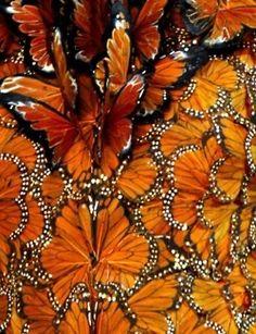 Orange butterflies. S)