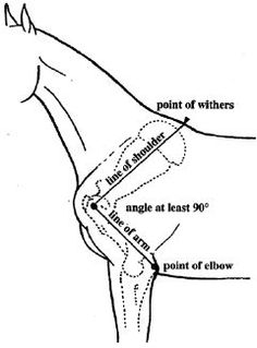 Part 2: Conformation differences in gaited vs trotting horses by Rose Miller | Anything Equine.