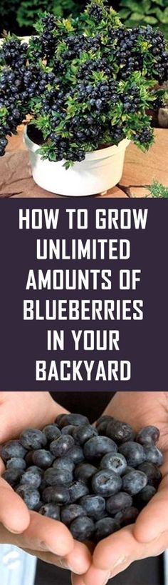 Grow Vegetables How To Grow Unlimited Amounts Of Blueberries In Your Backyard Backyard Trees, Backyard Garden Landscape, Garden Landscaping, Landscaping Software, Landscaping Design, Indoor Garden, Indoor Plants, Fruit Garden, Vegetable Garden