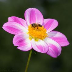 Bee on Apopa Sky Dahlia Picture by: Chris (Midland05) @ Flickr