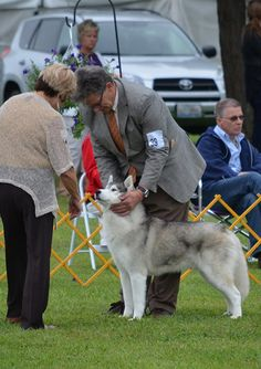 A Siberian Husky getting examined in the Best in Show lineup at the 2012 Lorain County Kennel Club Dog Show.
