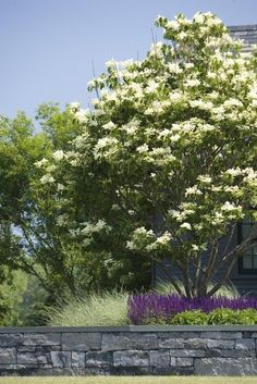 Japanese lilac tree syringa reticulata must have garden love service berry amelanchier alnifolia usda zones 3 to 9 water requirement has good drought publicscrutiny Image collections