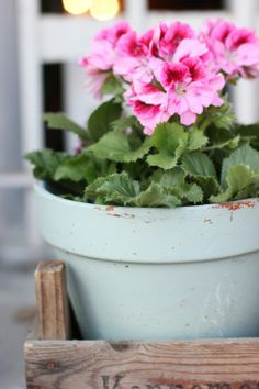 Geraniums in blue pot