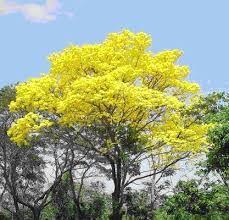 Resultado de imagen para arboles forestales nombres