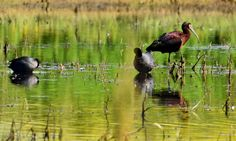 American Coot and a White Faced Ibis - Adventures through Photography
