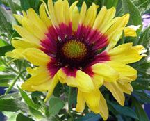 Gaillardia Sunset Mexican from the PlantHaven Sunset Medium Collection  is a delightful combination of watermelon pink and creamy yellow.