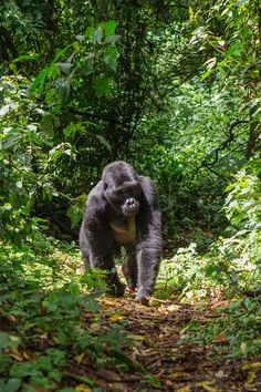 Bwindi bulletproof wooded area is one of the ultimate redoubts of the abundance apache. Over 400 call this UNESCO-blanketed countrywide park domestic, with the possibility for friends to trek to and accommodated habituated groups.  #bwindi #bwindinationalpark #bwindilodge #bwindiimpenetrableforest #bwindiimpenetrablenationalpark #bwindiforest #bwindiimpenetrableforestnationalpark #bwindiuganda #bwindiinpenetrableforest#bwindiforestnationalpark #bwindijunglelodge #bwindinationalparkuganda