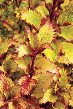 8 Great Plants You Gotta Grow: 'Henna' Coleus