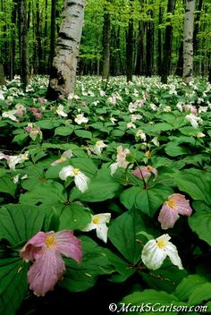 TRILLIUM TIME ECO-PHOTO TOUR - MAY 2014, Harbor Springs, Michigan.  (this is what the woods next to my childhood home looked like every spring!...amazing)