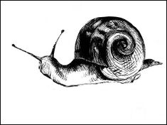 Vintage snail image from 1875. Published without illustrator credit. Nice black and white snail drawing/engraving. Copyright free and free to download.