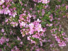 Boronia 'Shark Bay' • Full sun to partial shade - flowers nearly all year round - attracts butterflies!!
