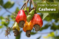 How To Grow Cashew Nuts - at home... #gardening #homestead #homesteading
