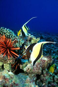 Moorish Idols in a Hawaiian reef
