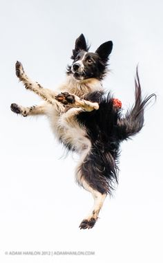 Dogs Being Dogs ~ Border Collie shows off fetching skills Border Collie Puppies, Collie Dog, Dog Photos, Dog Pictures, I Love Dogs, Cute Dogs, Colley, Blue Merle, Pet Memorials