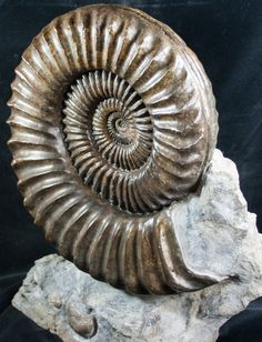 This is a stunning, 3D Coroniceras ammonite from Burgundy, France. This large ammonite is nearly a foot wide and has been mounted on a block of matrix to create beautiful display piece.  For sale at FossilEra.com