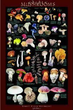 Google Image Result for http://www.gourmet-edible-mushrooms.com/motif/wildpost.jpg