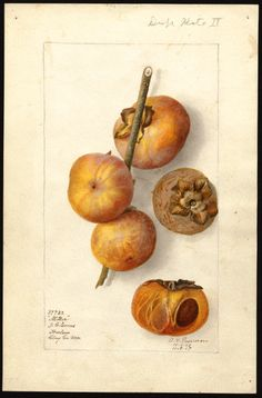 """Diospyros (persimmons). Watercolour (1907) by Deborah Griscom Passmore (1840-1911). """"U.S. Department of Agriculture Pomological Watercolor Collection. Rare and Special Collections, National Agricultural Library, Beltsville, MD 20705"""""""