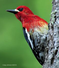 Red-breasted Sapsucker by Craig Johnson.  Common in coniferous or mixed forest in the coastal ranges in the west.