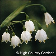 """Leucojum aestivum Snowflake ~ 12""""-16"""" tall. Mid-spring blooming. Native to central and southern Europe, this heirloom wildflower species is treasured for its adaptability and beauty. The pendulous, bell-shaped flowers have a light fragrance and are not eaten by browsing animals. Adaptable as to soil type and grows well in both damp and drier sites. Zones 4-8 12 bulbs per bag"""