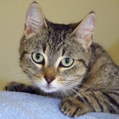 """Sakura is an adoptable Domestic Short Hair Cat in Waterloo, ON. CONTACT: 519-669-1979, jan@petpatrol.ca RESCUE: One of our volunteers sent the following email: """"I have gotten a call about a group of s..."""