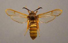 Foto: Han Klein Schiphorst; collectie Naturalis Bio diversity Center Leiden | gekraagde wespvlinder
