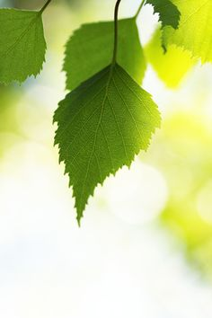 A main chemical compound found in Birch leaves is methyl salicylate, similar to salicylic acid used in aspirin. It is anti-spasmodic, analgesic, astringent, antifungal, diuretic, detoxifying, reduces oxidative damage to skin (stopping wrinkles), and enhances circulation. It is truly one of the first powerful pain-relievers ever used.