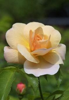 Rose 'Goldbusch'