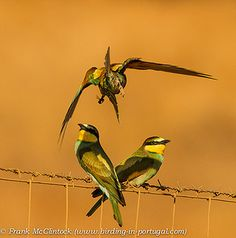 Bee-eaters with bees-4414 by Paradise in Portugal, via Flickr