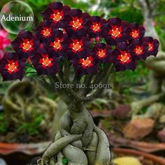 Cheap rose brandy, Buy Quality rose human directly from China rose swarovski Suppliers: Rare Brown Black Adenium Desert Rose with Fire Red Heart Flower, 2 seeds, bonsai compact single petal flowers E3959