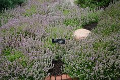 Thymus serpyllum 'Golden Variegated' | Flickr - Photo Sharing! Thymus Serpyllum, Amaryllis, Ground Covering, Ground Cover Plants, Plant Design, Outdoor Decor, Planting, Gardening, Lemon