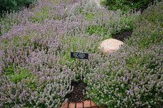 Thymus serpyllum 'Golden Variegated' | Flickr - Photo Sharing! Die Saat, Thymus Serpyllum, Amaryllis, Ground Covering, Ground Cover Plants, Plant Design, Outdoor Decor, Planting, Gardening